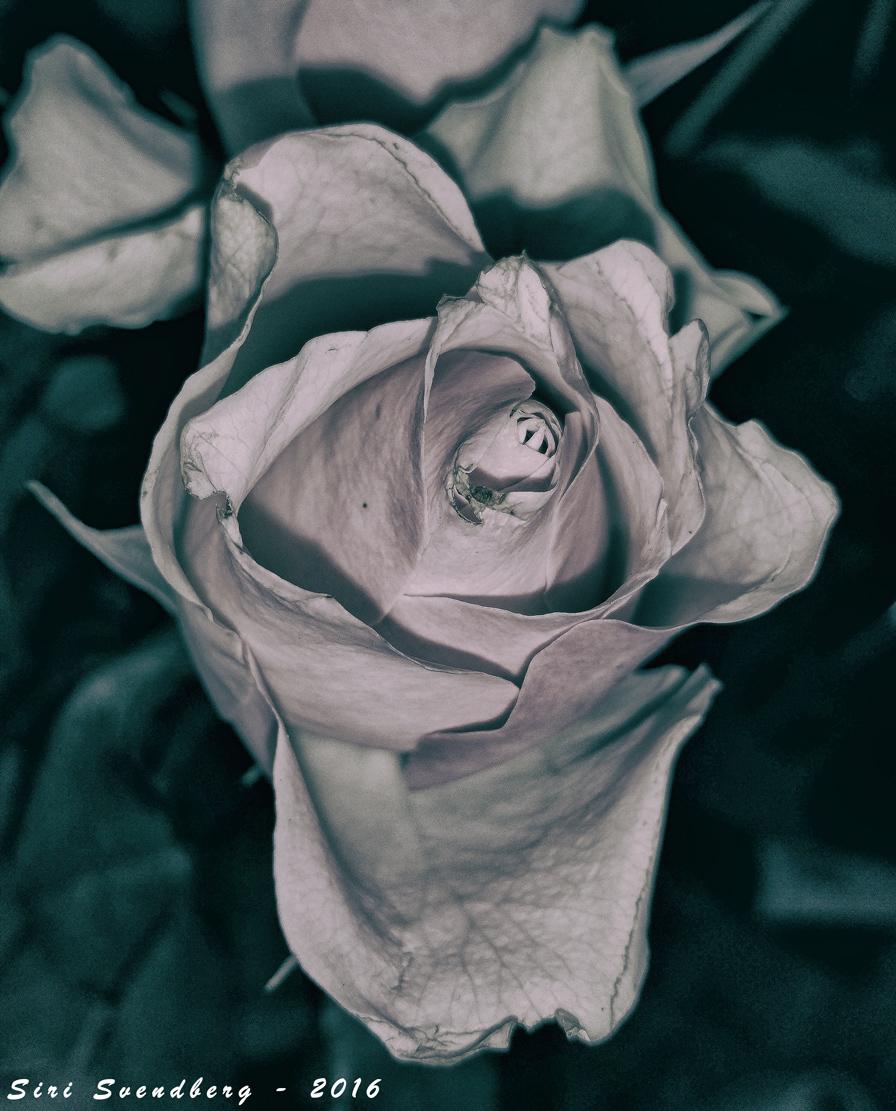 Rose-2016-03-17-23